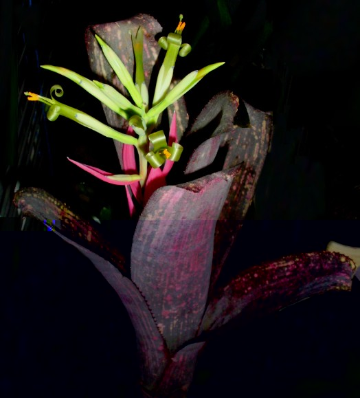 Billbergia Afterglow.jpg