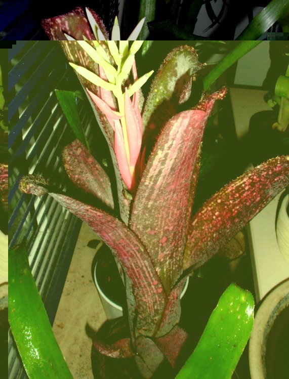 Billbergia Afterglow1.jpg
